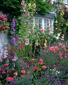 Front garden with Alcea and Rosa, Grafton Cottage, Staffordshire