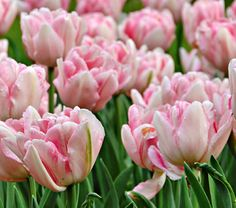Tulip Foxtrot  The lightly ruffled blossoms of this award-winning Double Early variety are a chorus of pink shades -- deep rose colors the base and moves up the petals to join lighter pink tones with white highlights. Complement these pinks with blue Muscari. Early midseason.