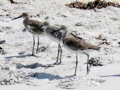 Got my sandpipers in a row. Boca Grande, Fl  Photo by Liz Baska