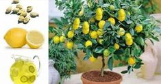 Tener esas semillas de limón plantadas en su casa en pequeñas macetas es una manera fácil de dejar su hogar...