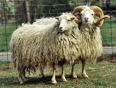 Skudde is a breed of domsticated sheep from Estonia, Germany, Latvia, Lithuania, and Switzerland.