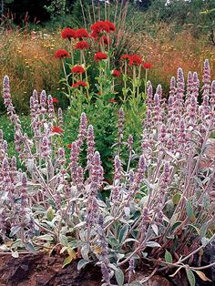 Lamb's Ears:Meadow sage produces wonderful clusters of violet-blue flowers from midsummer to early fall. These flowers are loved by butterflies and hummingbirds and are great cut flowers.    Name: Salvia 'May Night'    Conditions: Full sun and well-drained soil    Size: To 28 inches tall    Zones: 5-9