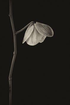 controsensi:  Single Blossom (by Pris WerSo)