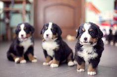"""Burnese Mountain Dogs. Photos by Lera/Happy Spring!"""