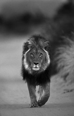 African Male Lion Walking a Dirt Road.