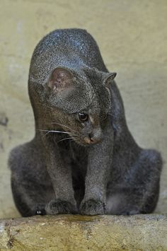 Jaguarundi by Truus & Zoo - In appearance the jaguarundi is unlike any other cat and has been likened to a large weasel or otter, hence its English common name of 'Otter Cat'. It is uniform in colour, ranging from dark grey/brown to an almost chestnut brown. In common with other species of wild cat, the darker forms are usually associated with dense forest cover and the paler forms with more arid habitats.