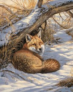 Restful Moment - Red Fox Art Print by Rosemary Millette For more great pins go to Wildlife Paintings, Wildlife Art, Animal Paintings, Animal Drawings, Oil Paintings, Original Paintings, Animals And Pets, Cute Animals, Vida Animal