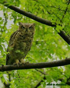 Beautiful Owl - Salalh - Oman Salalah, Beautiful Owl, Exotic Birds, Parakeet, Owls, Animals, Animales, Animaux, Parakeets