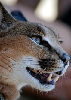 CARACAL PROFILE by Daniela's Designs