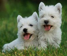 West Highland Terriers, the ONLY small dog I could even attempt to tolerate