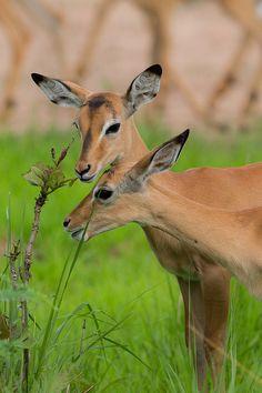 Gazelle in Zambia. So pretty, it looks like they're wearing eyeliner   Picture to Draw