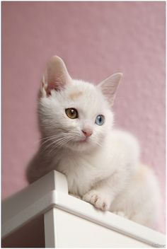 Lovely kitty - Two-color eyes (Stephie Kaczala) White Kittens, Cute Cats And Kittens, I Love Cats, Kittens Cutest, Cool Cats, Pretty Cats, Beautiful Cats, Crazy Cat Lady, Crazy Cats