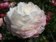 Annisquam €15 - tweekleurig roze/wit, sterk symmetrisch, licht geurend, bloeit vroeg midden