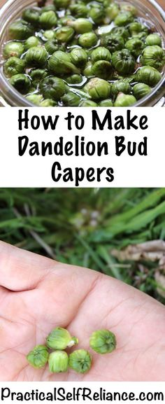 How to Make Dandelion Capers ~ 2 Ways. Gourmet food from your garden. Ways to use spring weeds to eat healthy. Fermentation Recipes, Canning Recipes, Herb Recipes, Dinner Recipes, Edible Plants, Edible Flowers, Dandelion Recipes, Wild Edibles, Fermented Foods