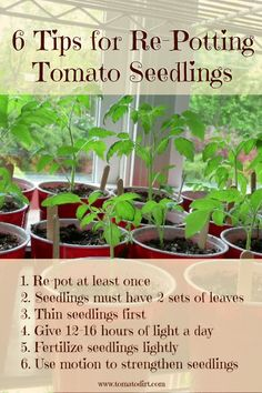 Grow Organic Tomatoes 6 tips for repotting tomato seedlings. Helpful when growing tomatoes from seeds! With Tomato Dirt - Re-potting tomato seedlings to a bigger container helps plants develop strong root systems. Get special potting tips. Growing Tomatoes Indoors, Growing Tomatoes From Seed, Growing Tomato Plants, Tomato Seedlings, Growing Tomatoes In Containers, Tomato Seeds, Grow Tomatoes, Baby Tomatoes, Tomato Pruning
