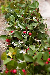 Red Pearl lingonberry (Vaccinium vitis-idaea 'Red Pearl') is one of the more creative plant choices used in holiday displays. The small, glossy evergreen leaves create the perfect backdrop for the ruby-red fruit.    This lingonberry requires acidic soils with a large mixture of sand and peat moss for best growth, but its light needs are not as strict, and it grows well in full sun or partial shade.