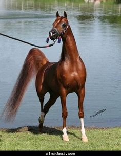 Chestnut Arabian. I have one of these!
