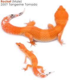 Tangerine Gecko