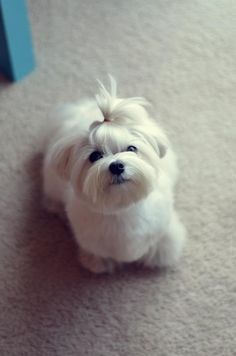Gustave's at home summer cut - Maltese Dogs Forum : Spoiled Maltese Forums