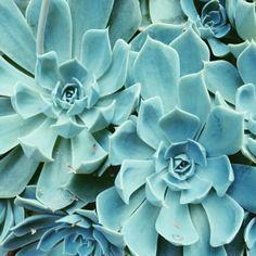 Succulents. Crassulacées