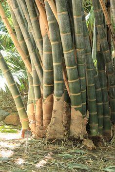 Dendrocalamus giganteus, also known as Dragon Bamboo or Giant Bamboo