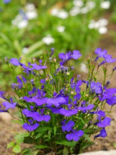 Lobelia is a valuable herbal remedy. Lobelia has historically been used for toxin removal, addiction, and relief of problematic respiratory symptoms.
