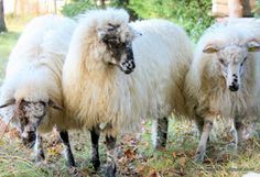 Valachian sheep with long mostly white wool. It is dual-coated and a rare breed registered in the European gene pool.