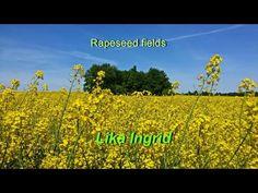 Rapeseed fields Рапсовые поля