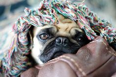 Under Cover Pug ♥ Clean pug! Pug Love dog doggie puppy boy girl black fawn funny fat outfit costume
