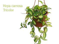 De 7 hipste hangplanten als blikvanger thuis of op kantoor | Storyplanter Plants, Modern, Trendy Tree, Plant, Planets