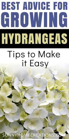 Hydrangea Shrub, Hydrangea Care, Hydrangea Not Blooming, Hydrangea Potted, Hydrangea Flower, Outdoor Flowers, Outdoor Plants, Outdoor Decor, When To Plant Hydrangeas