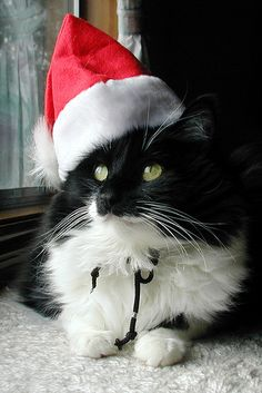 My queue is bursting with Christmas Cats. It can't be Friday soon enough.  Santa Sylvie (by The Cat's MeOM) ❤️