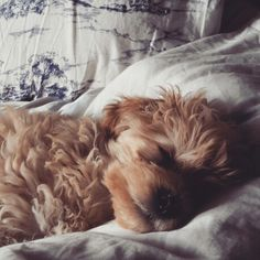#dolly napping #puppylove #puppy #puppiesforall #maltipoo