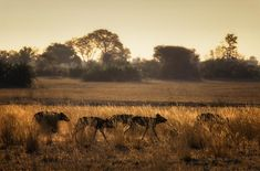 Wild dogs setting out on a hunt. Wildlife image by photographer Dave Hamman Wild Dogs, Great Photos, Fine Art Paper, Wilderness, Awesome, Amazing, Safari, Fine Art Prints, Wildlife