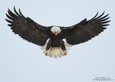 Bald Eagle in Flight 15-X2.jpg (1280×914)