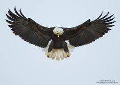 Bald Eagle in Flight 15-X2.jpg (1280×914)