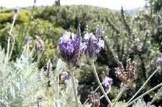 Lavandula pinnata. Parc de Saleccia, Corse, France