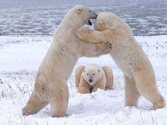 """Polar Bears Playing"" by Sandra Donlon via My Shot, National Geographic Photo of the Day: Your Photos [JANUARY 7, 2010] ~ Near Churchill, Manitoba, Canada."