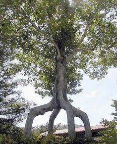 15 Strangely Shaped Trees (strange trees, cool trees, weird trees) - ODDEE