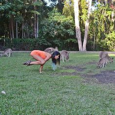 "#Linkbait caption: Bet you can't find the crow amongst the #kangaroos! What really happened before this snap: I was imitating a kangaroo ""walk"" and then just ended up doing a #bakasana. #CurrumbinWildlifeSanctuary #GoldCoast. #currumbin #wildlife #migoldcoast #visitgoldcoast #visitqueensland #australia #visitaustralia #travel #travelblog #travelgram #aussieblog #yoga #fitness #crowpose #travelwithkids #familytravel by pinaytraveljunkie http://ift.tt/1X9mXhV"