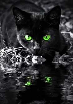 Black Cat green eyes reflection in water Pretty Cats, Beautiful Cats, Animals Beautiful, Gorgeous Eyes, Amazing Eyes, I Love Cats, Crazy Cats, Cool Cats, Warrior Cats