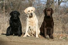Labrador retrievers - some of the most loyal friends on earth!