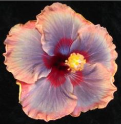 Hibiscus Hybrids from the Hibiscus Lady-Nikkiʻs Beauty