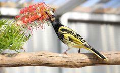 Regent Honeyeater feeding on nectar