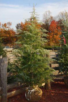 Deodar Cedar living Christmas tree at the Kinsey Family Farm