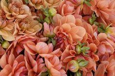 apricot dahlias.  i love, love, love this color!!