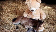 Dieses Fohlen freut sich tierisch über seinen Teddybären