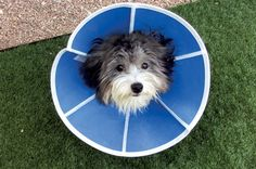 BLUE COLLAR! We would have thought that, with a name like GUCCI, he would have chosen a more fashionable accessory than the dreaded Elizabethan collar! Cheer up, Gucci, the collar is for your own good (to stop you from messing with surgical stitches), and it's only temporary. In no time you'll be out of it and back to normal, full of curiosity and energy. The seven-month-old Havanese is recuperating with the help of his caretakers Glenn and Marjorie of Tucson, AZ. #DogsofPinterest…