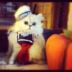 stay puft marshmallow cat.