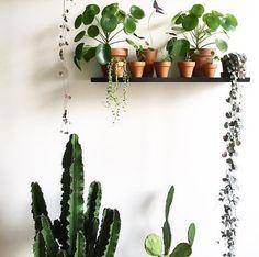 Plant van de week: de Pilea Peperomioides - ook wel de pannenkoekenplant - NSMBL